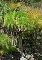 Coreopsis gigantea 2.jpg