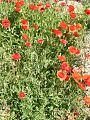 Corn-Poppies-Flowers 12795-360x480 (4899796145).jpg