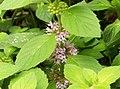 Corn Mint (Mentha arvensis) (4897198471).jpg