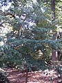 Cornus angustata 0zz.jpg