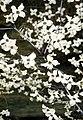 Cornus florida flower1.jpg