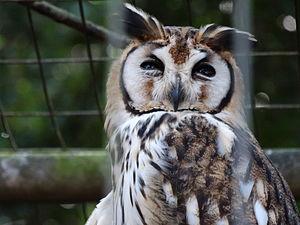 Striped owl - Image: Coruja orelhuda no Zoológico de Sorocaba