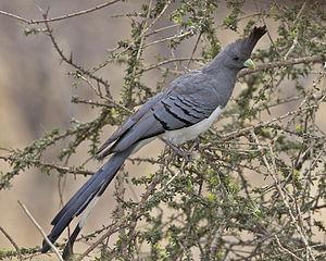 White-bellied go-away-bird - Image: Corythaixoides leucogaster Kambi ya Tembo, Tanzania 8