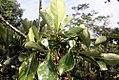Cosmibuena grandiflora 1zz.jpg