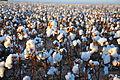 Cotton field kv32.jpg