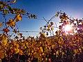 Coucher de soleil sur le vignoble à Eguisheim.jpg
