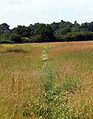 Country desire path at Woodland Trust wood Theydon Bois Essex England.JPG