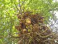 Couroupita guianensis Aubl. (346568056).jpg