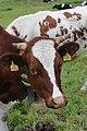 Cow (14314737365).jpg