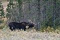 Cow Moose (50437571927).jpg