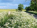 Cow Parsley In Full Flower - geograph.org.uk - 812490.jpg