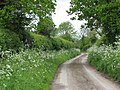 Cow parsley and hedges - geograph.org.uk - 1306047.jpg