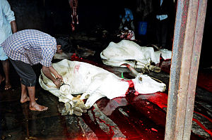 A cow being slaughtered for leather.