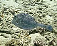 Cowfish Honeycomb Cowfish (7342608710).jpg