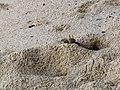 Crab in sand Mahe Seychelles.jpg