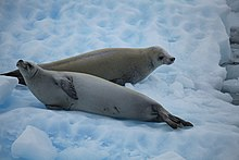 Crabeater Seals in the Lemaire Channel, Antarctica (6054124491).jpg