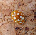 Cream-spot Ladybird. Calvia14-guttata - Flickr - gailhampshire.jpg