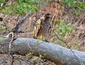 Crested Serpant Eagle (3492916588).jpg