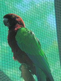 Crimson Shining-Parrot (Prosopeia splendens) (2202781574).jpg
