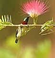Crimson backed Sunbird AMSM9724.jpg
