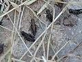Criquets Calliptamus italicus Millau Saint-Martin-du-Larzac (2).jpg
