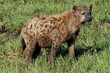 external image 220px-Crocuta_crocuta_-Ngorongoro_Conservation_Area%2C_Tanzania-8.jpg