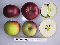 Cross section of Pomme Crotte, National Fruit Collection (acc. 1947-371).jpg
