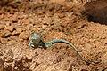 Crotaphytus collaris - Wüstenhaus.jpg