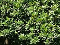 Cryptocarya latifolia, lower, Walter Sisulu NBT.jpg