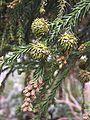 Cryptomeria japonica cones.jpg