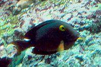 Ctenochaetus marginatus - Zoo Frankfurt
