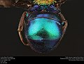 Cuckoo Wasp (Chrysididae from Canada (23686584918).jpg