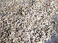 Cucumis melo - Диня - Насінництво - Просушування насіння.jpg