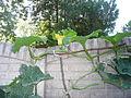 "Cucurbita maxima ""zapallo plomo"" (Costanzi temp2) flor F16 antesis.JPG"