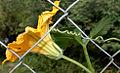 Cucurbita maxima flower W IMG 3543.jpg