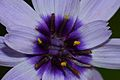 Cupid's Dart (Catananche caerulea) close-up (9738132596).jpg