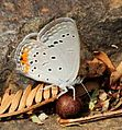 Cupidopsis jobates jobates Tailed meadow blue W of Qudeni.jpg