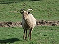 Curious sheep at The Green - geograph.org.uk - 465715.jpg