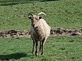 Curious sheep at The Green - geograph.org.uk - 465715.jpg