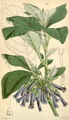 Curtis's Botanical Magazine, Plate 4338 (Volume 73, 1847).png