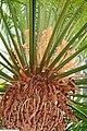 Cycas circinalis 20zz.jpg
