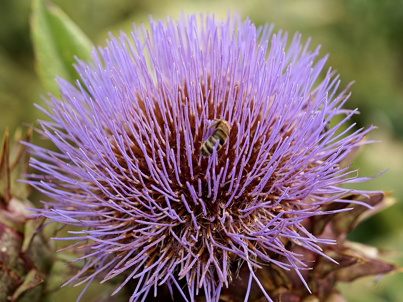 Artichoke thistle with honey bee at the Kalmthout arboretum in Belgium