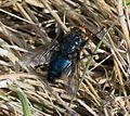 Cynomyia mortuorum - Flickr - S. Rae (1).jpg