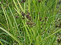 Cyperus difformis P6100106.jpg