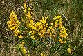 Cytisus procumbens 2.jpg