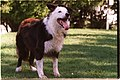 DOG-BORDER Collie in San Francisco 23OCT99.jpg