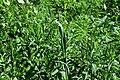 DSC 0373 Allium obliquum.jpg