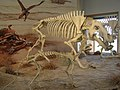 Daeodon (Miocene) P7180296.jpg