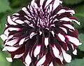 "Dahlia - ""Tartan"" cultivar.jpg"