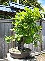 Daimyo Oak.jpg